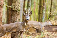 Roe deer portrait Royalty Free Stock Photography