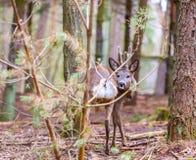 Roe deer portrait Stock Photo