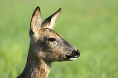 Roe deer portrait Royalty Free Stock Image