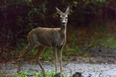 Roe deer portrait. In a rainy day Stock Photo