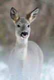 Roe deer portrait. roe deer showing tongue Stock Images