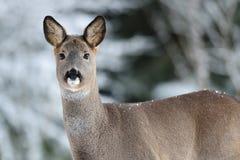 Roe deer portrait Royalty Free Stock Image