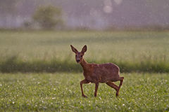 Roe deer in rain Stock Photos