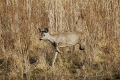 Roe deer in the reed Stock Images