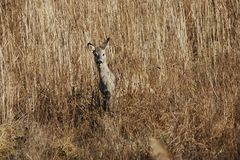 Roe deer in the reed Stock Photo