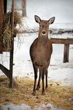 Roe deer in Reserve Bialowieza Forest, Belarus Stock Images