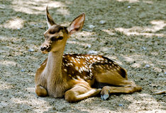 Roe deer resting Stock Images