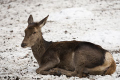 Roe deer resting. In snow Royalty Free Stock Image