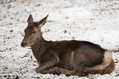 Roe deer resting. In snow Royalty Free Stock Image