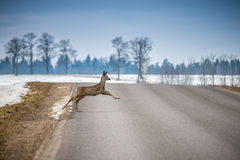 Roe deer on road Royalty Free Stock Images
