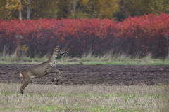 Roe-deer on the run in the wild Stock Photo