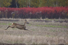 Roe-deer on the run in the wild Royalty Free Stock Photography