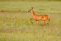 Roe deer running along the meadow Stock Photos