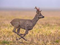 Roe deer running Stock Images