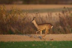 Roe deer running Stock Photography