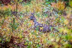 Roe deer running in huge grass, fall forest Royalty Free Stock Photography