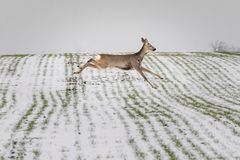 Roe Deer Running On Field Covered With Snow. Capreolus Capreolus Royalty Free Stock Photography