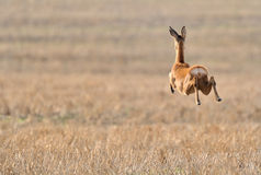 Roe deer running over field. Rear view of roe deer running and jumping midair over field in countryside Royalty Free Stock Photo