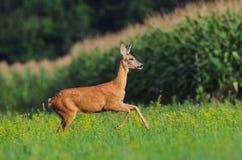 Roe deer running Royalty Free Stock Photo