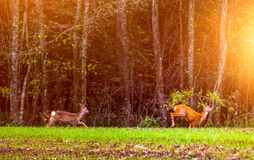 Roe deer running in sun Stock Photography