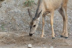 Roe deer and salt. Cute roe deer licking salt from some pebbles Royalty Free Stock Images