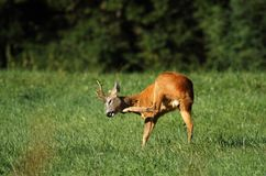 Roe deer scratching Stock Photography