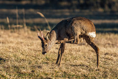 Roe deer scratching his neck royalty free stock photography