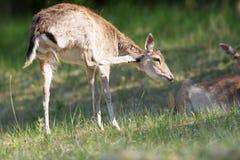 Roe deer scratching Stock Photos