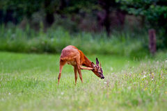 Roe deer scratching Stock Images