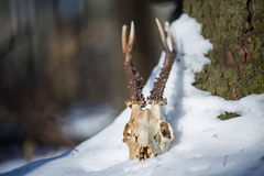 Roe deer skull with horns. In the snow Royalty Free Stock Photos