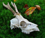 Roe deer skull Royalty Free Stock Photography