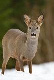 Roe deer on snow Royalty Free Stock Photography
