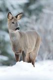 Roe deer on snow Royalty Free Stock Photos