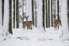 Roe deer in the snow during winter Stock Photography