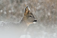 Roe deer in snowfall stock photo