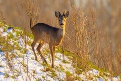Roe deer on snowy hillside Stock Photo