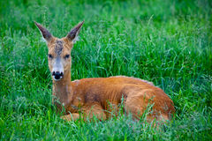 Roe Deer som lägger i gräset Arkivbild