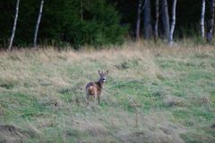 Roe deer stag in countryside Royalty Free Stock Photography