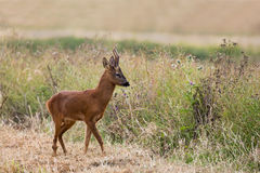 Roe Deer stag in farmland Stock Images