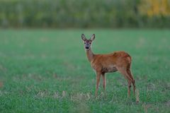 Roe deer in the summer. Roe deer stand on the field and look, summer,  capreolus capreolus Royalty Free Stock Photo
