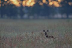 Roe deer stand into the high grass. Roe deer stand in the high grass at the morning light, spring,  capreolus capreolus Stock Photography