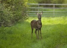 Roe Deer stand off. A startled Roe Deer assesses the photographer, before approaching with caution stock image