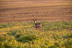 Roe deer standing among the agricultural field. Nature sunny background, South Moravia, Czech Republic Royalty Free Stock Photography