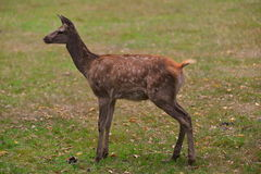 Roe deer standing Royalty Free Stock Photography