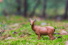 Roe deer standing in a field of grass Royalty Free Stock Images