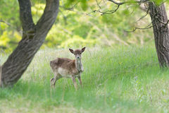 Roe deer standing in high grass Stock Photo