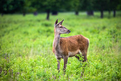 Roe Deer. Is standing in the park Stock Images