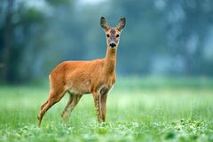Roe deer standing in a field Royalty Free Stock Photo