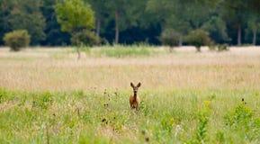 Roe deer Stock Photography