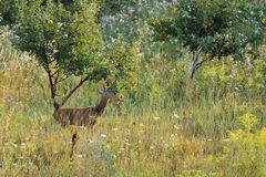 Roe deer stealing apples from an orchard Stock Image